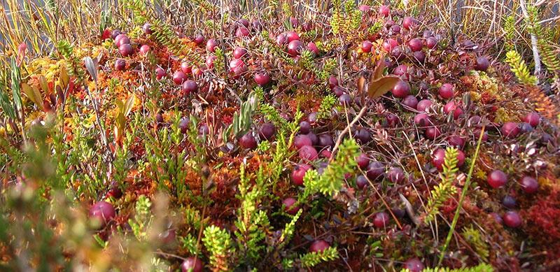 Cranberry's plukken
